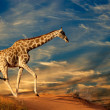 Giraffe on sand dune - Stock Photo