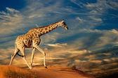 Giraffe on sand dune — Stock Photo