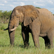 African bull elephant - Stock Photo