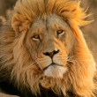 Big male African lion — Stock Photo #2775227