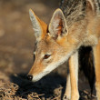 Black-backed Jackal — Stock Photo #2775239