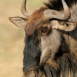 Stock Photo: Blue wildebeest