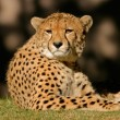 Cheetah — Stock Photo #2775257