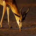 Drinking springbok antelope — Stock Photo
