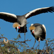 Crowned cranes — Stock Photo #2777841