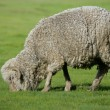 Stock Photo: Grazing sheep