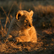 Lion cub — Stock Photo #2777882