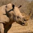 Royalty-Free Stock Photo: White rhinoceros
