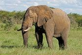 African bull elephant — Stock Photo