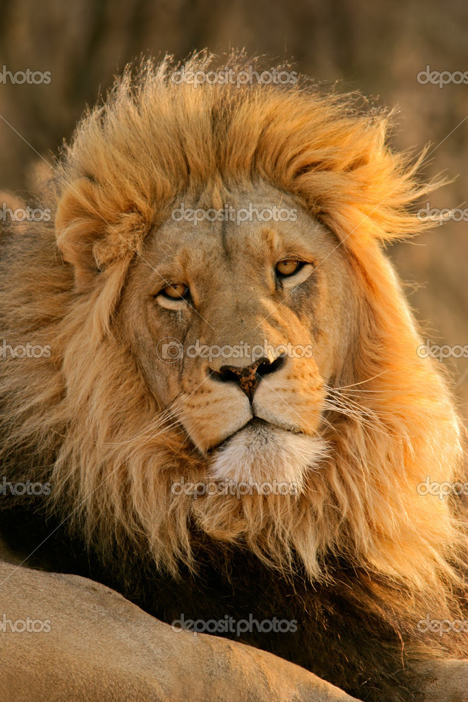 Portrait of a big male African lion (Panthera leo), South Africa	 — Stock Photo #2775227