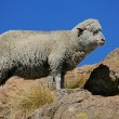 Merino sheep — Stock Photo #2831933