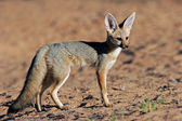 Cape fox — Stock Photo