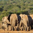 African elephant herd - Stock Photo