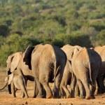 African elephant herd — Stock Photo