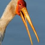 Yellow-billed stork — Stock Photo #2857495