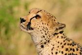 Cheetah portrait — Stock Photo