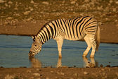 Plains Zebra drinking — 图库照片