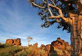 Quiver tree landschap — Stockfoto