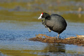 Redknobbed coot — Stock Photo