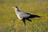 Tajemník pták — Stock fotografie