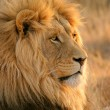 Big male African lion — Stock Photo #3009679