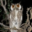 White-faced owl - Stock Photo