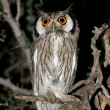White-faced owl — Stock Photo #3009806