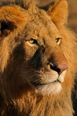 Big male African lion — Stock Photo