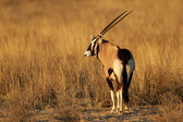 Gemsbok antelope — Stock Photo