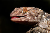 Bibron gecko — Stock Photo