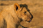 African lion after feeding — Stock Photo