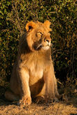 Young male African lion — Stock Photo