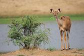 Antilopy kudu — Stock fotografie