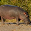 Hippopotamus — Stock Photo #3149684