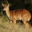 Nyala antelope - Stock Photo