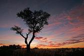 Acacia tree silhouette — Stock Photo