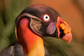 American king vulture — Stock Photo
