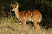 Nyala antelope — Stock Photo