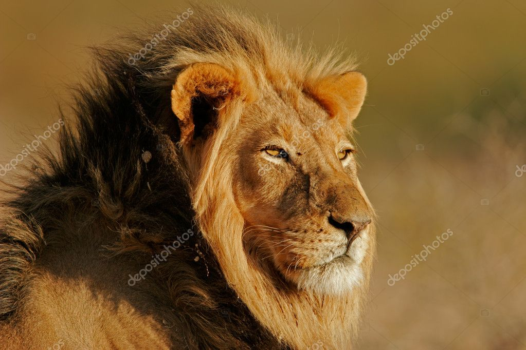 Portrait of a big male African lion (Panthera leo), Kalahari, South Africa — Stock Photo #3149658