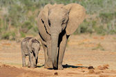 African elephant with calf — Stockfoto