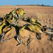 Welwitschia, Namib desert — Stock Photo #3401507