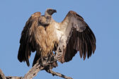 White-backed vulture — Stock Photo