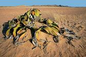 Welwitschia, Namib desert — Stock Photo