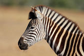 Plains Zebra portrait — Stock Photo