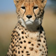 Cheetah portrait — Foto de Stock