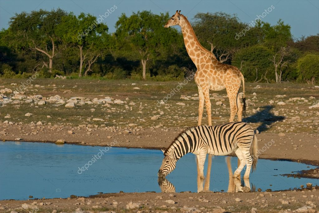 A plains (Burchells) zebra and giraffe at a waterhole, Etosha National Park, Namibia, southern Africa — Stock Photo #3546432
