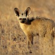 Stock Photo: Bat-eared fox