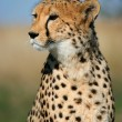 Cheetah portrait - Stock Photo
