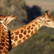 Giraffe interaction — Stock Photo #3582546
