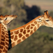 Giraffe interaction — Stock Photo